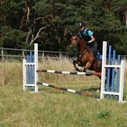 Welsh Pony af Cob-type (sec C) Flicka