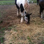 Irish Cob Idom Aadahls Blue Thunder