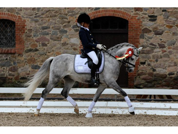 Welsh Pony (sec B) Clausholm Lord Joker (A-Pony)