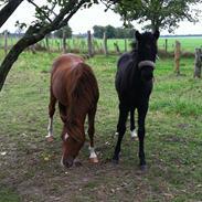 Welsh Pony af Cob-type (sec C) ChaTho´s Zilhouette