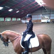 Welsh Cob (sec D) Star