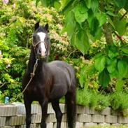 Welsh Pony (sec B) Pentino
