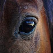 Welsh Pony (sec B) Champer