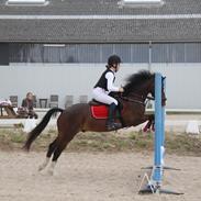 Welsh Pony af Cob-type (sec C) Gribsvads Ras