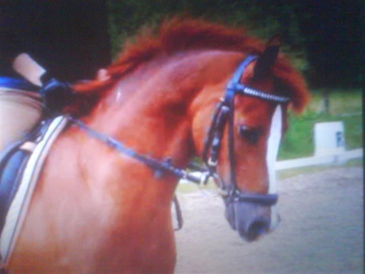 Welsh Pony (sec B) Lykkes chester<33