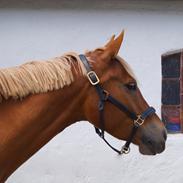 Welsh Partbred (Sec F) Fay a li