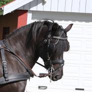 Koldblodstraver Holt Sjur (tidligere hest)