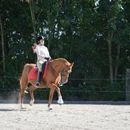 Hollandsk Sportspony Jannus