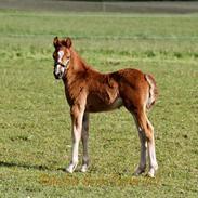 Welsh Pony af Cob-type (sec C) Harvest Ups A Dot