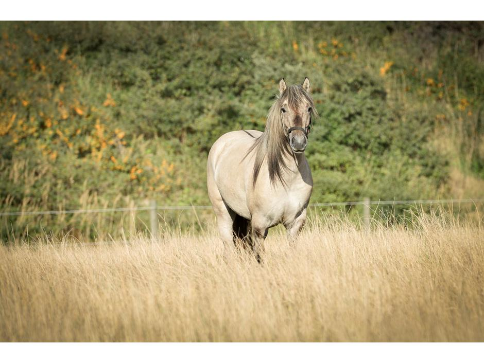 Highland Pony Torrin of Talisker