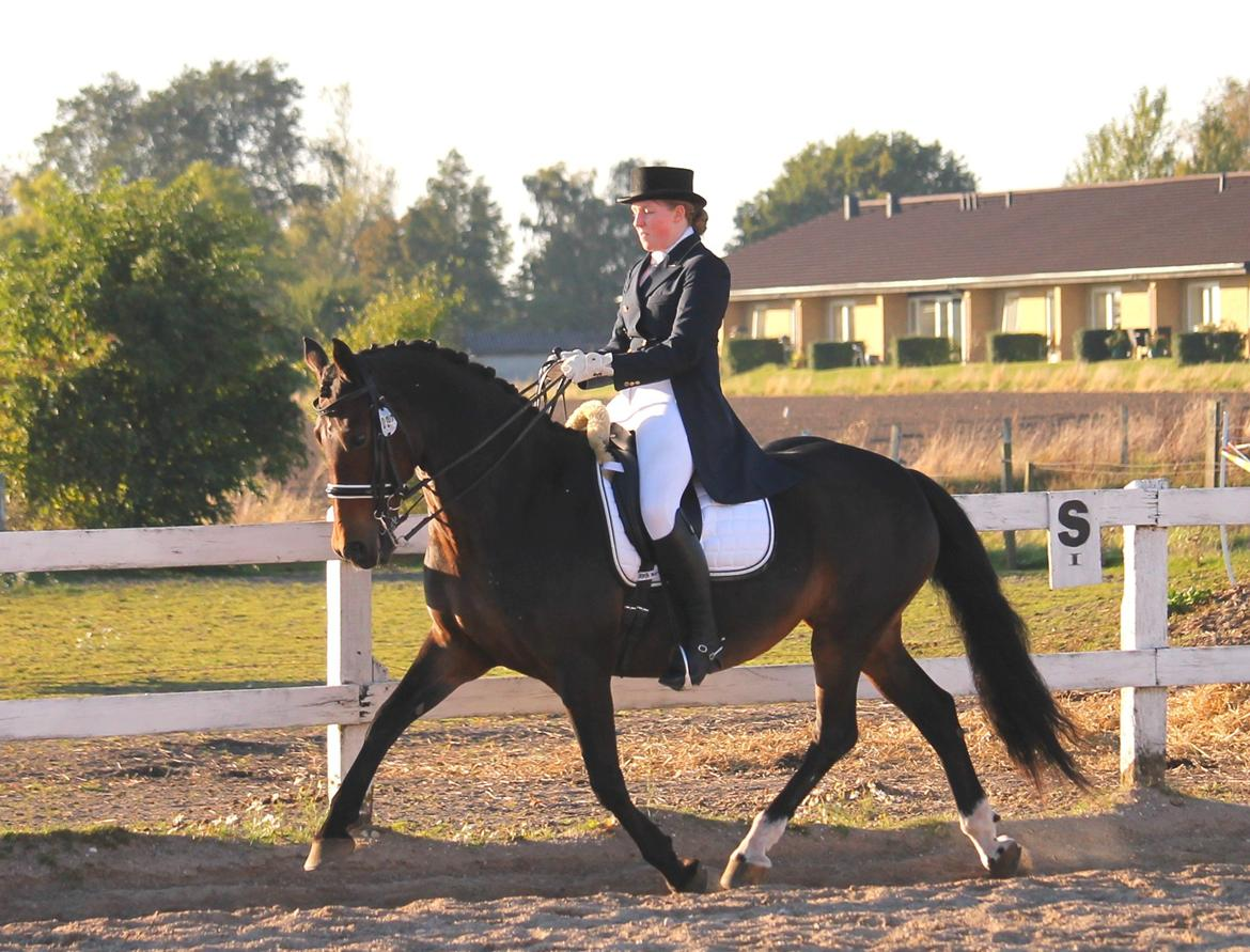 Welsh Cob (sec D) Avonvalley Lara-Croft billede 7