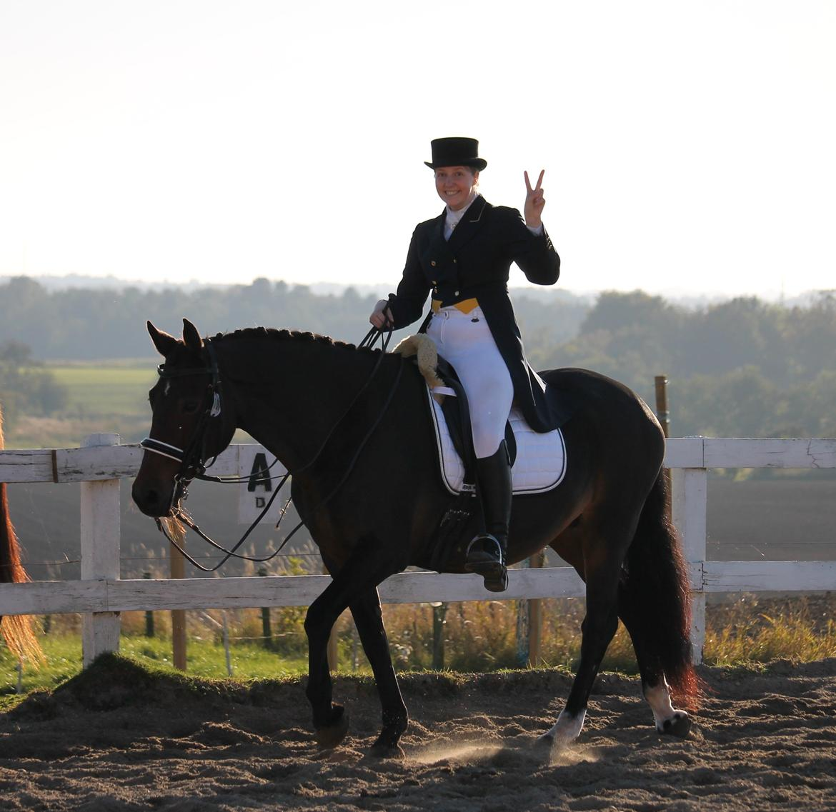 Welsh Cob (sec D) Avonvalley Lara-Croft billede 20