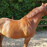 Welsh Pony af Cob-type (sec C) Meadow`s Red Pepper