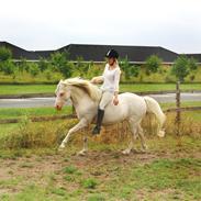 Welsh Pony (sec B) Aastrupgaards Safir *AVLSHINGST*