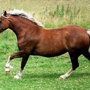 Welsh Cob (sec D) Holmlunds Royal Princess