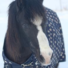 Welsh Pony (sec B) DODI
