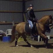 Tysk Sportspony Ulfenbach Desirée C (Dess <3) (låne pony)