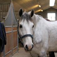 Svensk Sportspony  Uriah Heep A pony
