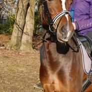 Welsh Partbred (Sec F) holmlunds miss charming