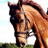 Dansk Varmblod Kawanche Frydenlund (kiwi) tidl. Hest