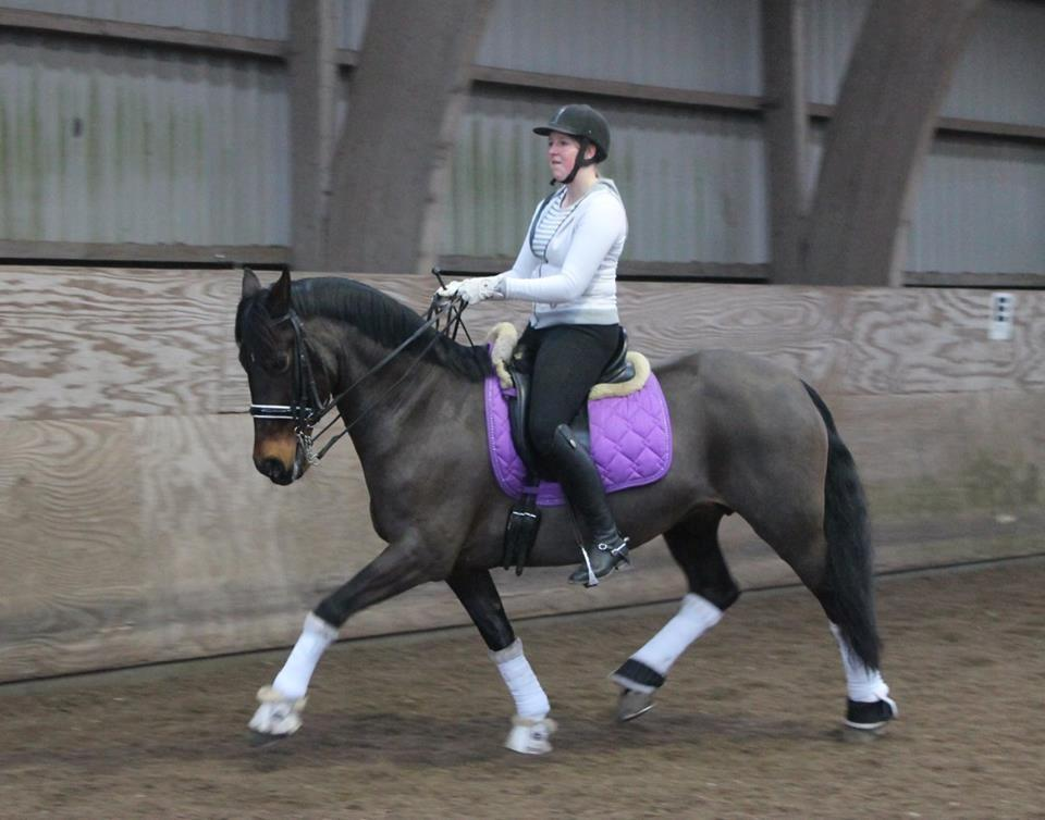 Welsh Cob (sec D) Avonvalley Lara-Croft billede 6