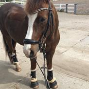 New Forest Ygor [1/3 A PONY] FORESALE