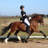 Welsh Pony af Cob-type (sec C) Rytterbjergets Discovery - B pony