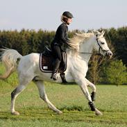 Arabisk fuldblod (OX) RM Al Qadir