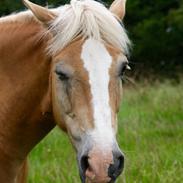Haflinger Mustang