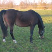 Welsh Partbred (Sec F) Bella