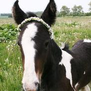 Drumhorse Princess Darling Daisy Day