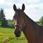 Trakehner Adonis Olesminde (tidl hest)