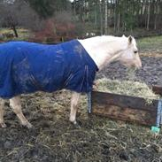 New Forest Nellie (Rain)