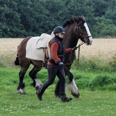 Irish Cob Shamrocks Rowan of Spades