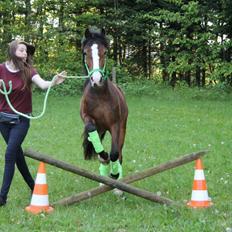 Welsh Pony af Cob-type (sec C) Flynn Rider