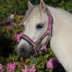 Welsh Mountain (sec A) Friarly flowermaid