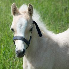 Welsh Pony (sec B) Sunnyhill Bell-Bell Sunrise