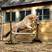 Fjordhest Golden horse konstatin [Min Lånehest]
