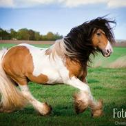 Irish Cob Cillbarra golden vale