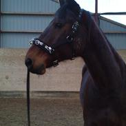 Standardbred Danbury