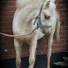 Welsh Pony (sec B) Sunny Hill Bell-Bell Sunlight / Bella