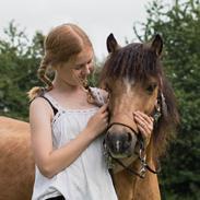 Welsh Pony af Cob-type (sec C) Menai cadwyn