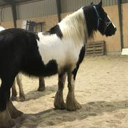 Irish Cob Crossbreed Lulu af Englund