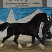 Welsh Pony af Cob-type (sec C) Hulda I Am Black Jack