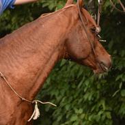 Arabisk fuldblod (OX) Pelee ox