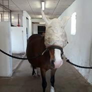 Welsh Pony af Cob-type (sec C) Gribsvad's Lady Jo