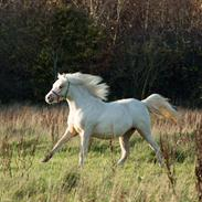 Welsh Pony (sec B) Sunny Hill Bell-Bell Sunlight / Bella
