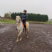 Welsh Pony (sec B) Cadlanvalley Moonlight  (GBR) Aka Valli