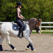 Irish Cob Crossbreed Fiona Filina •Bæstet• [Egen hest]