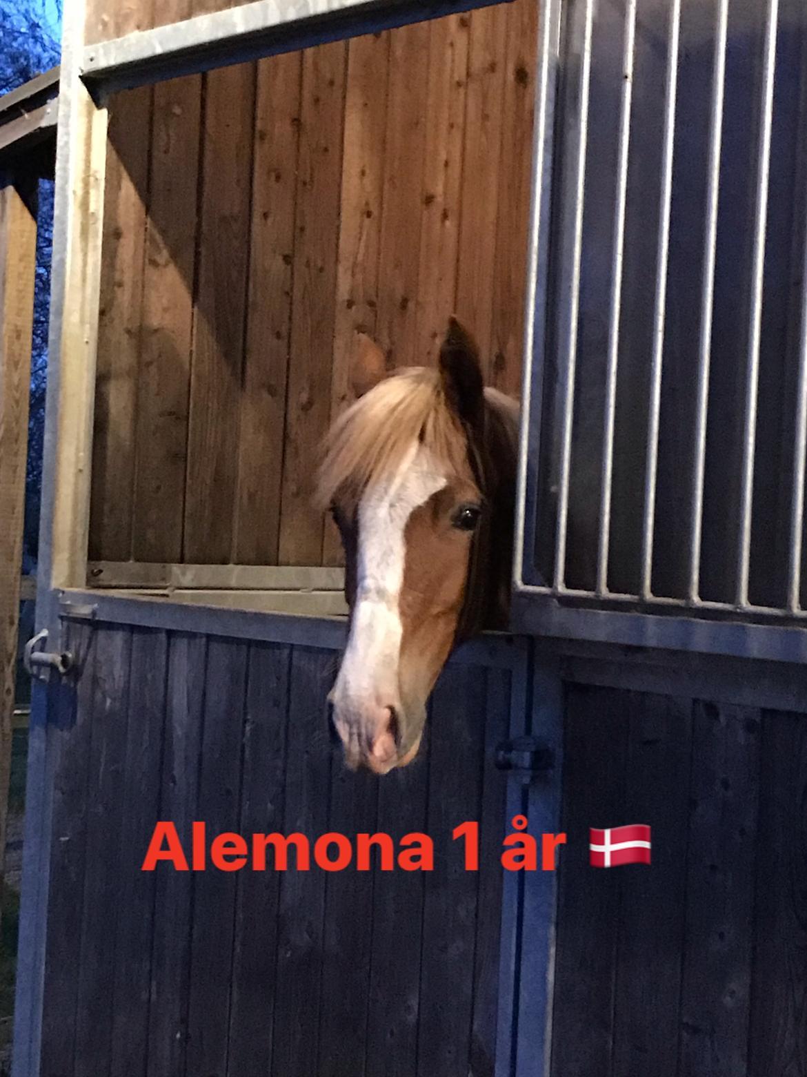 Welsh Cob (sec D) Nasebas Alemona  billede 7